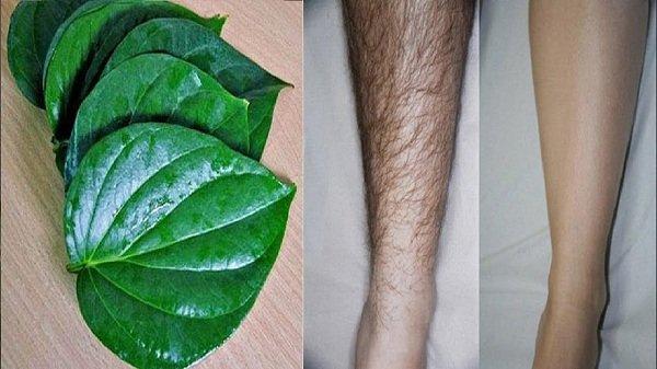 tẩy lông bằng lá trầu không có hiệu quả không, tẩy lông bằng lá trầu không, cách tẩy lông bằng lá trầu không, triệt lông bằng lá trầu, triệt lông bằng lá trầu không, tẩy lông bằng lá trầu